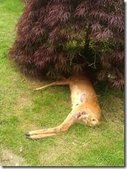 dead deer in a garden