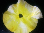 coffee filter daffodil