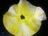 coffee filter daffodil