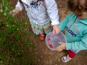 picking wild huckleberries