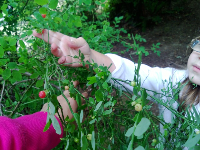picking huckleberries