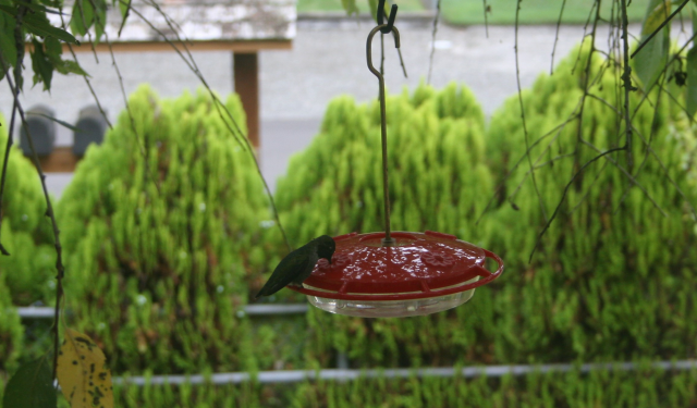 hummingbird feeding