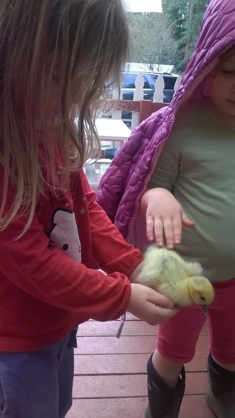 ducklings.